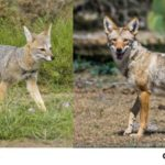 Différences entre le renard et le coyote