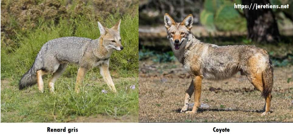 différences_renard_coyote