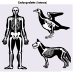 Exemples endosquelettes humains animaux