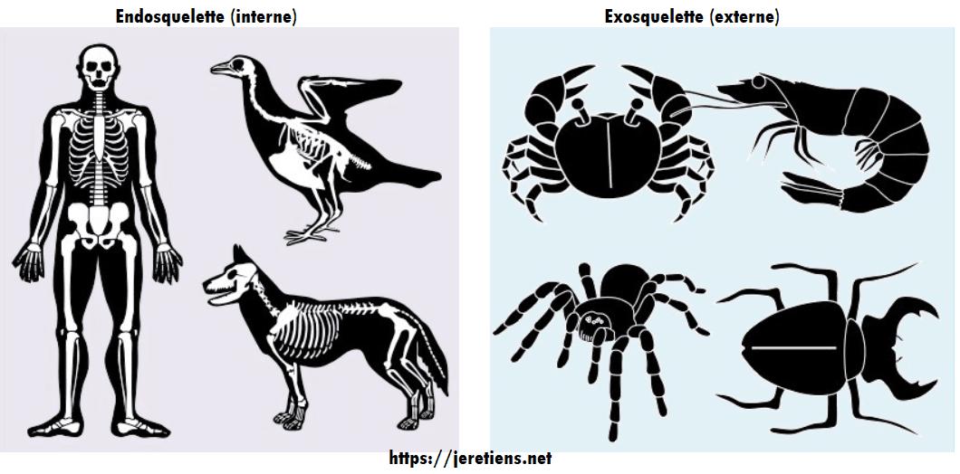 Endosquelette exosquelette différence et définition