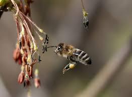 Faux bourdon différence abeille guêpe