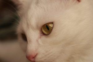 Regard chat blanc, portrait chat blanc photographie de près