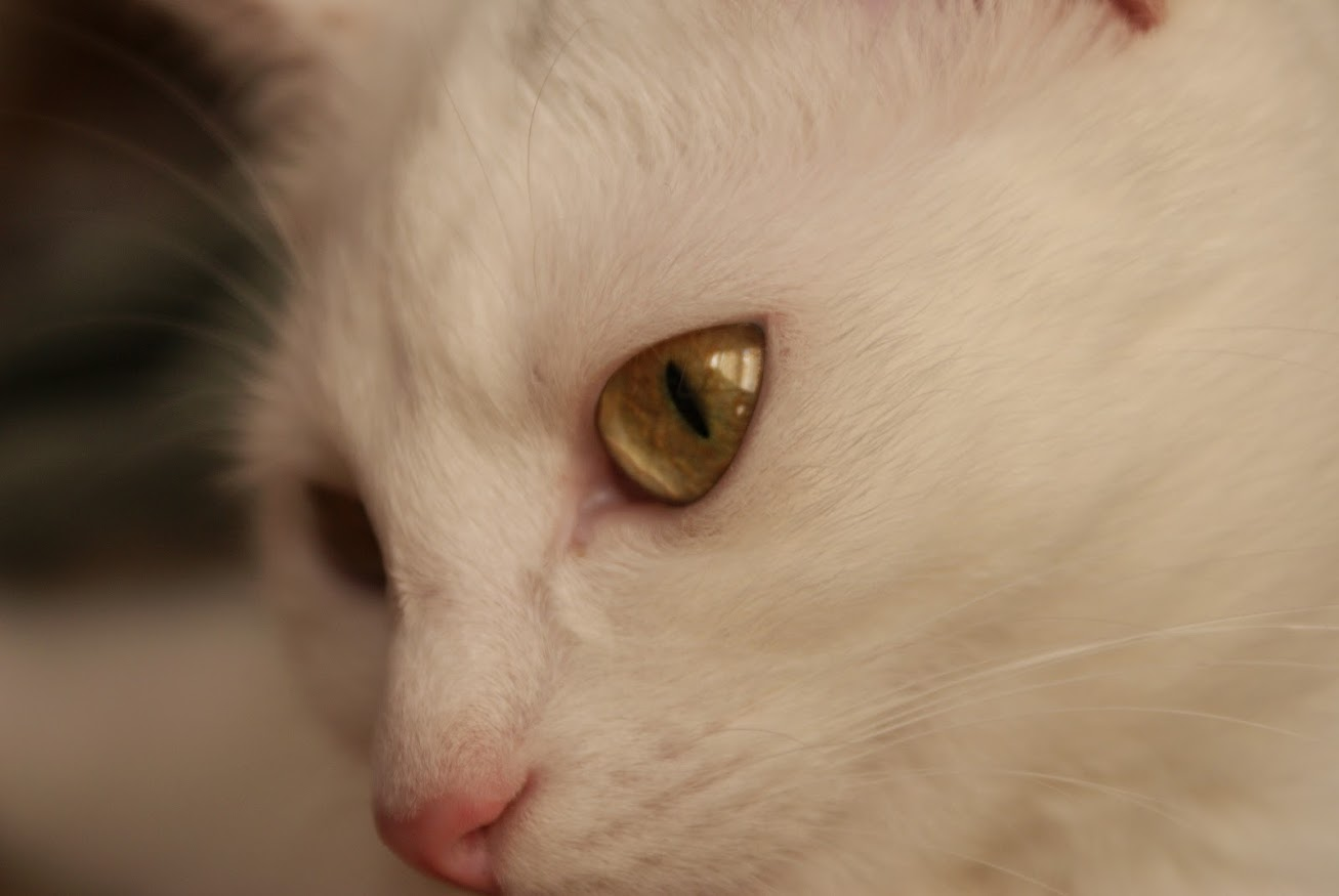 regard_chat_blanc_globule_portrait
