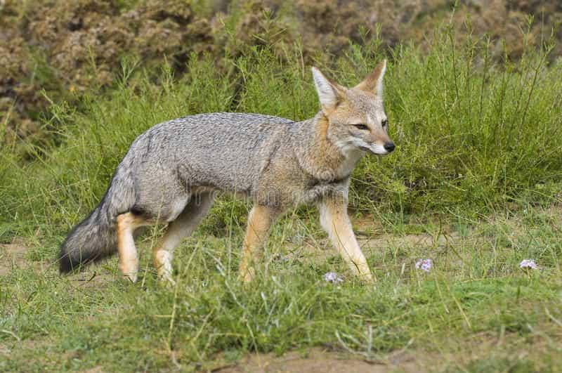 Un renard gris