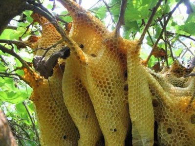 Ruche abeilles nature alvéoles miel gelée royale