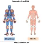 Schéma corps humain homme os muscles nerfs articulations