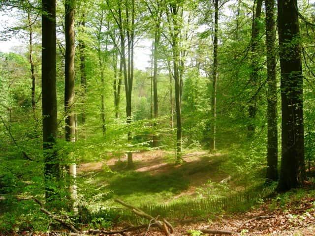 Forêt de Soignes Belgique Bruxelles image sapins hêtres arbres