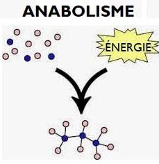 Schéma anabolisme simplifié différence catabolisme réaction chimique créé des molécules complexes