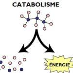 schéma catabolisme simplifié métabolisme anabolisme destruction molécules