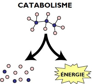 catabolisme_destruction_molécule_énergie_schéma