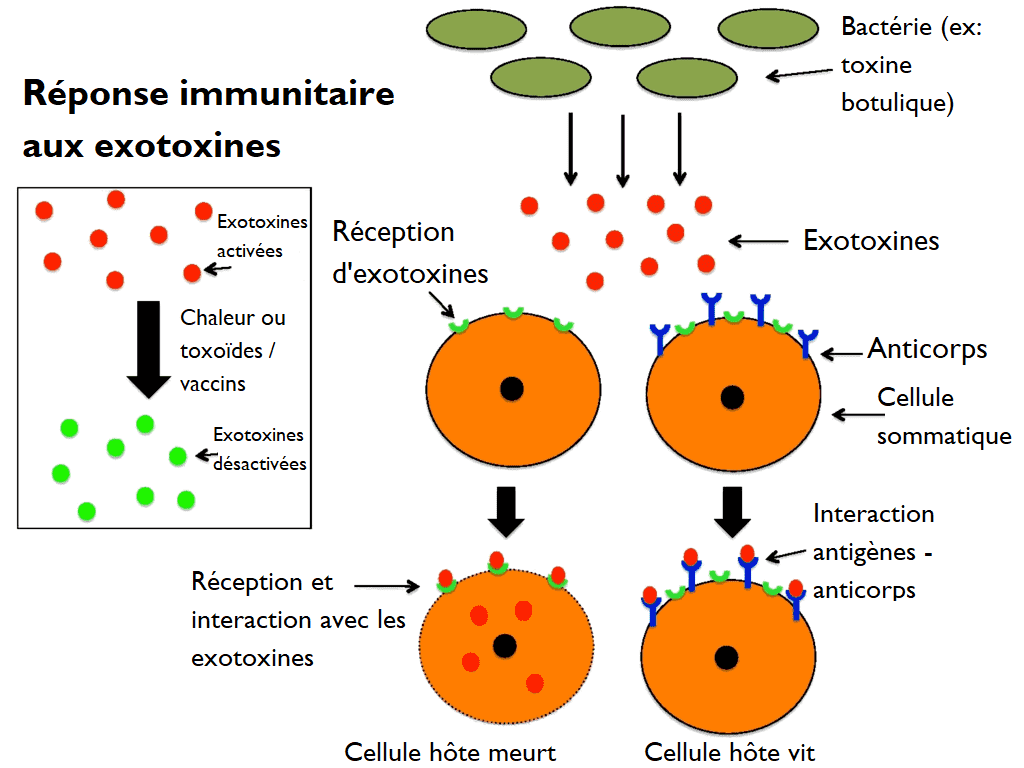 Schéma exotoxine bactérie réponse immunitaire destruction cellule anticorps antigènes toxoïdes