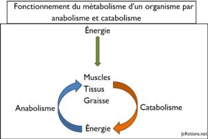 Métabolisme catabolique catabolisme anabolisme anabolisants réactions construction destruction molécules processus différence schéma