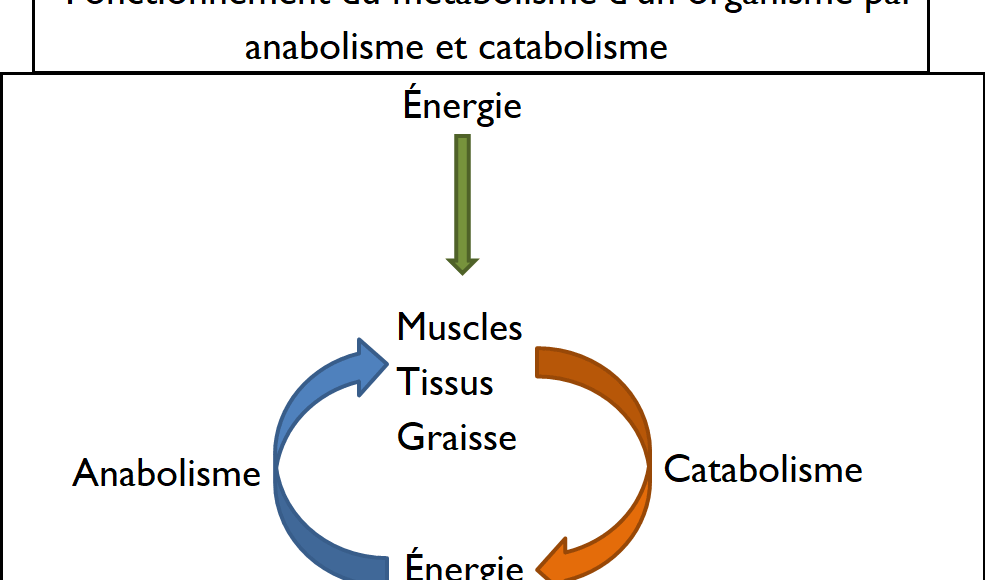 métabolisme_catabolisme_anabolisme_schéma_énergie_destruction_construction