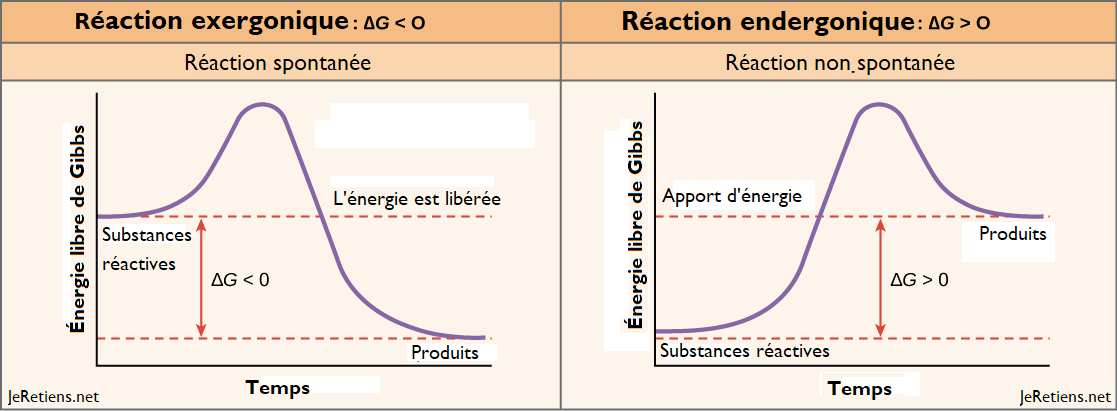 Différence entre les réactions endergoniques et exergoniques, énergie libre de gibbs, réactions spontanées et non spontanées