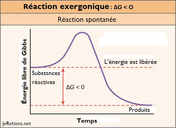 réaction_exergonique_énergie_libre_gibbs