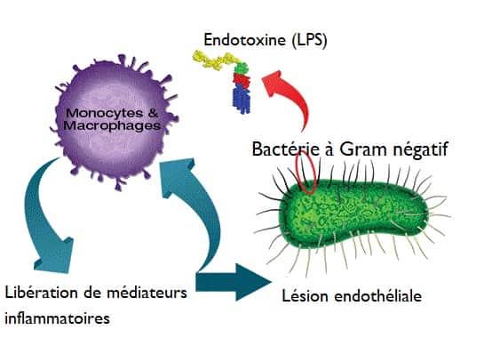Schéma endotoxine gram négatif cellule paroi externe