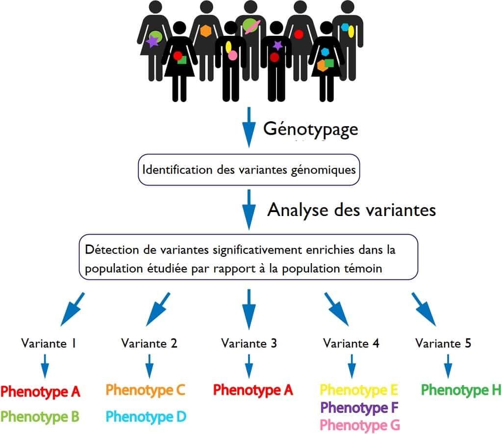 Génotype vers phénotype schéma simple