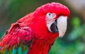 Un perroquet facilement distinguable de l'ara par sa toute petite zone de peau sans plumes autour de ses narines.