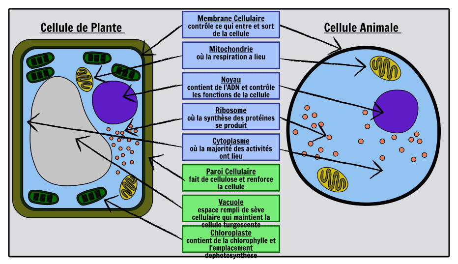 Difference Entre La Cellule Animale Et La Cellule Vegetale