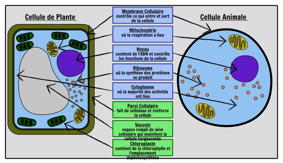 Schéma comparatif d'une coupe d'une cellule végétale (à gauche) et d'une cellule animale (à droite)