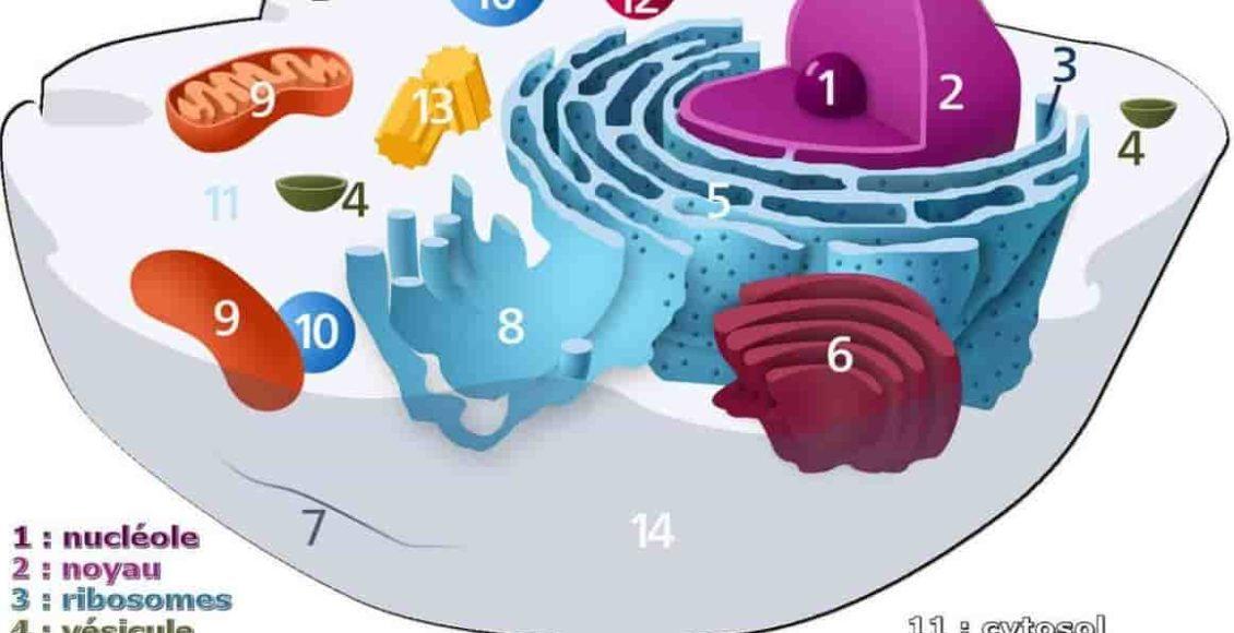 structure_cellule_animale_coupe_golgi_membrane_ribosome