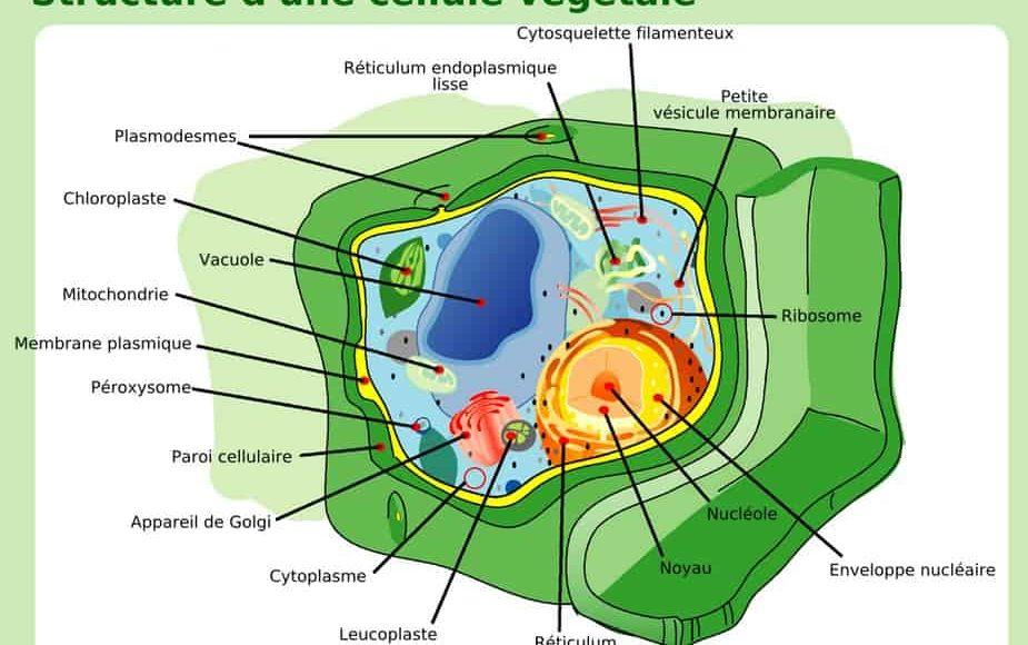 structure_cellule_végétale_vésicule_golgi_cytoplasme_schéma_noyau