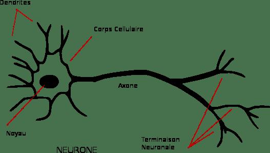 schéma_du_neurone_expliqué