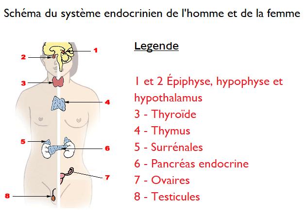 Schéma du système endocrinien chez l'homme et chez la femme.