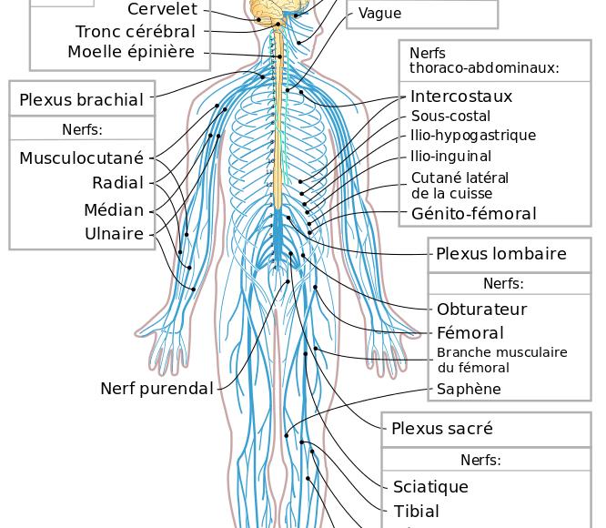 système_nerveux_tous_les_nerfs