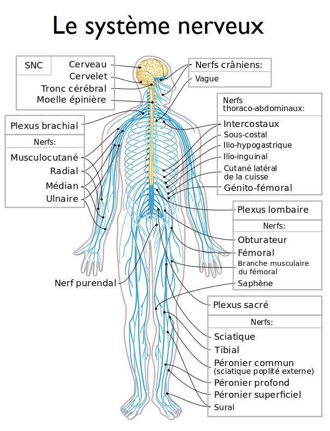 Schéma de tous les nerfs du corps humain.