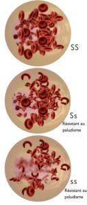 Allèle récessif, dominant, co-dominant, globules rouges
