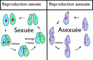 Schéma exposant la différence entre la reproduction sexuée et la reproduction asexuée.