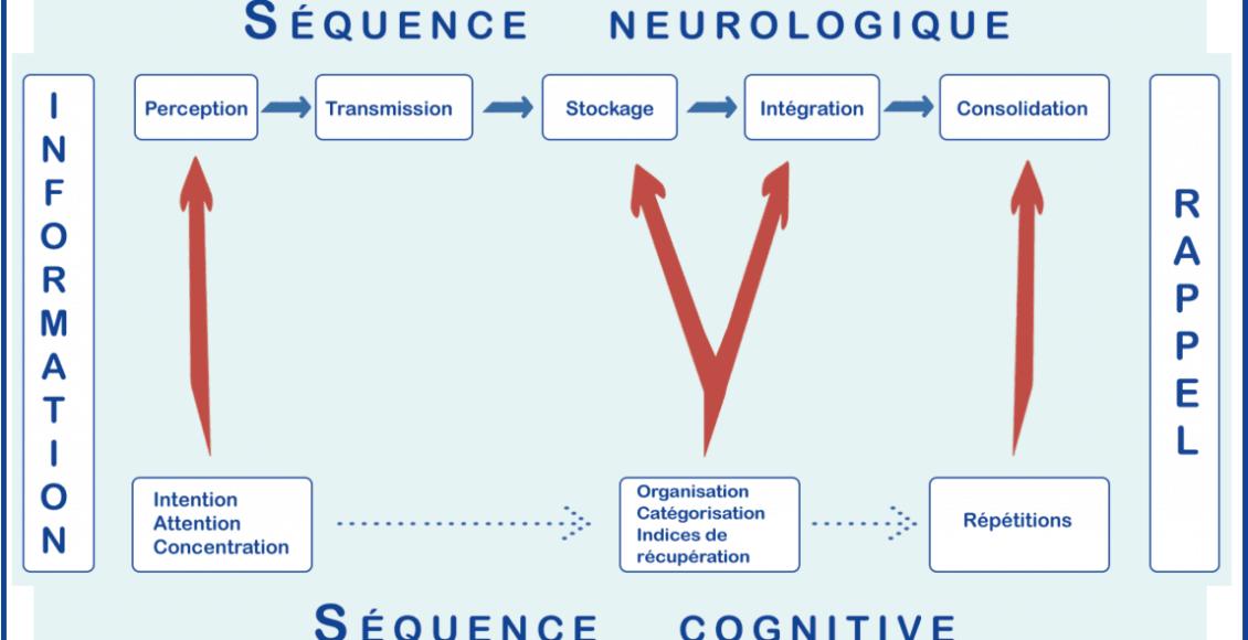 fonctionnement_mémoire_séquence_neurologique_cognitive