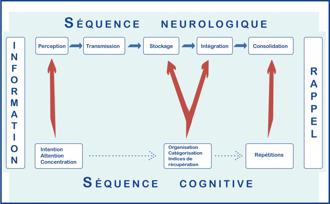 Schéma du fonctionnement du cerveau pour la mémoire