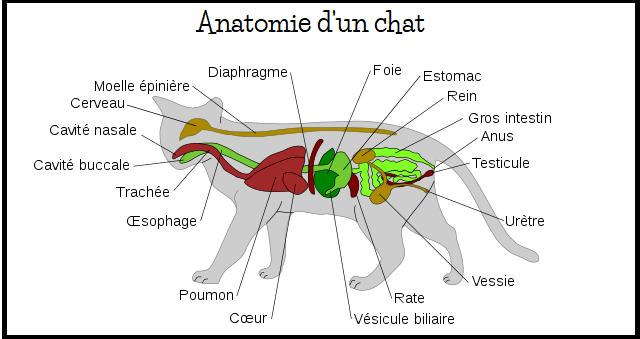 Anatomie du chat