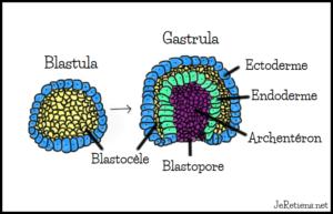 Schéma de la blastula et de la gastrula