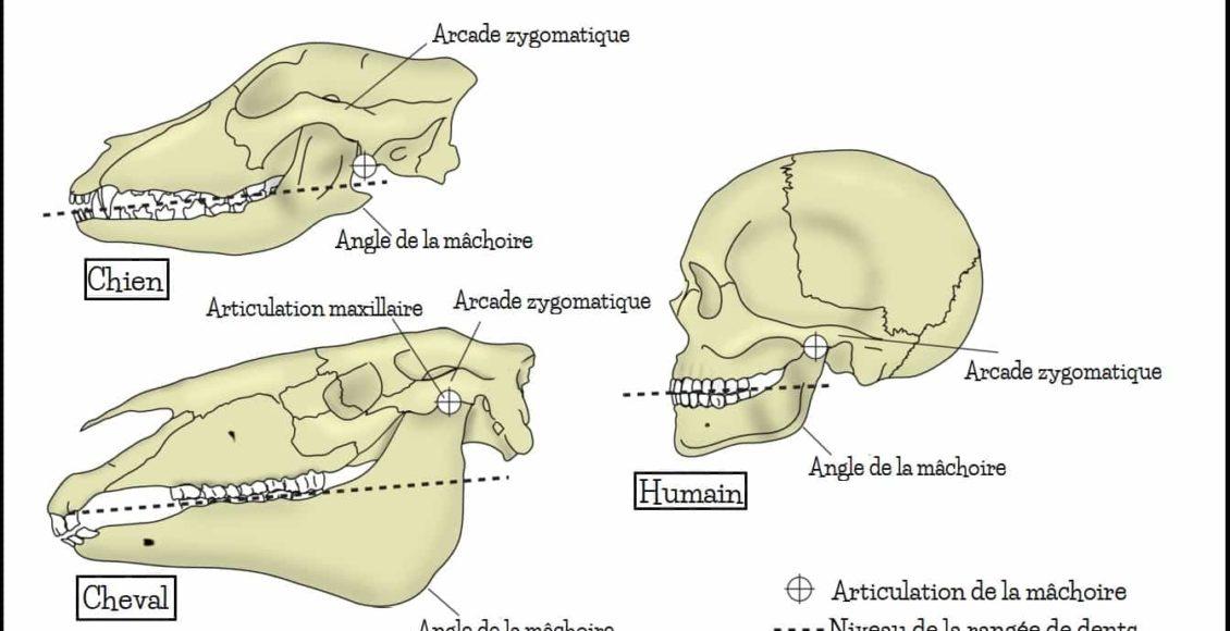 crâne_animal_herbivore_carnivore_homme_omnivore_différence_comparaison