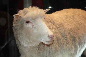 Dolly, premier animal cloné en 1997.
