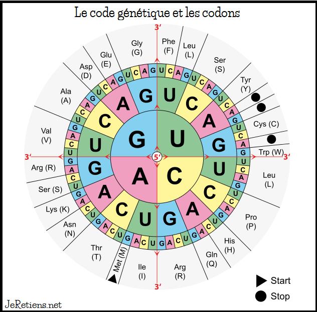 Génome humain code génétique de l'ADN et ARN
