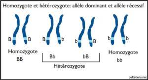 Schéma simple hétérozygote homozygote allèle dominant récessif chromosome et gène