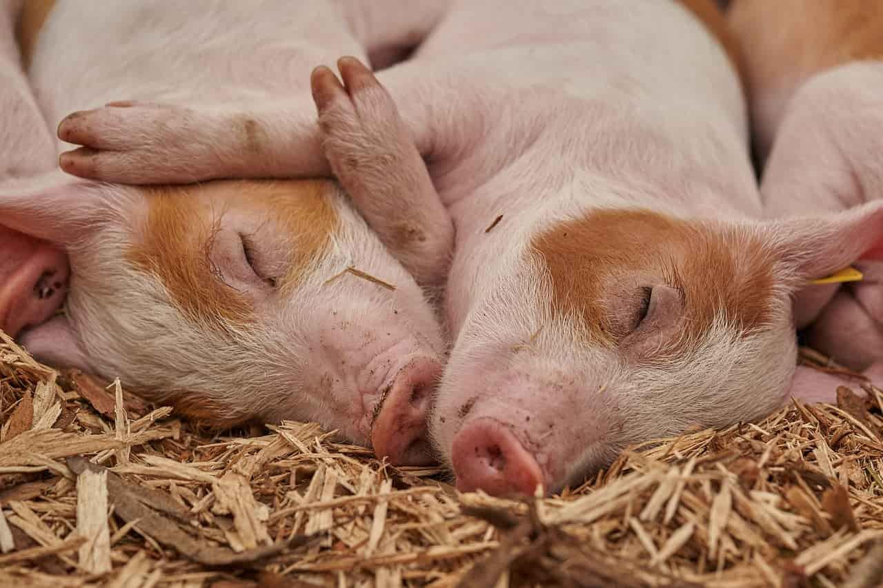 Quelle différence entre porc et cochon ?