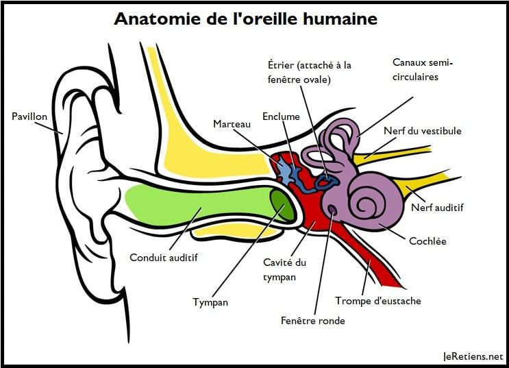 L'oreille humaine divisée en trois partie: l'oreille externe, l'oreille moyenne, l'oreille interne