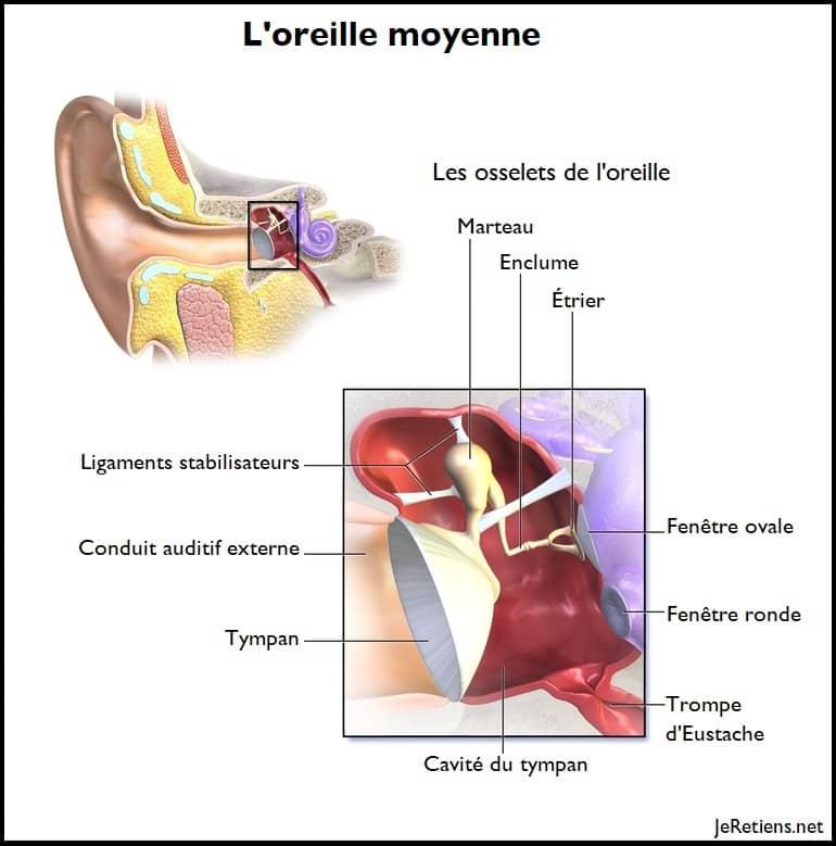 Schéma de l'oreille moyenne avec les osselets du marteau, de l'étrier et de l'enclume)