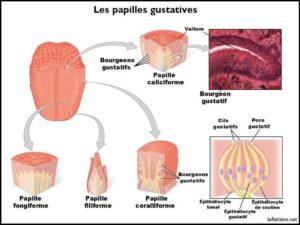 Schéma de la langue et des papilles gustatives reponsables de la détection des goûts sucré, salé, acide, amer et umami