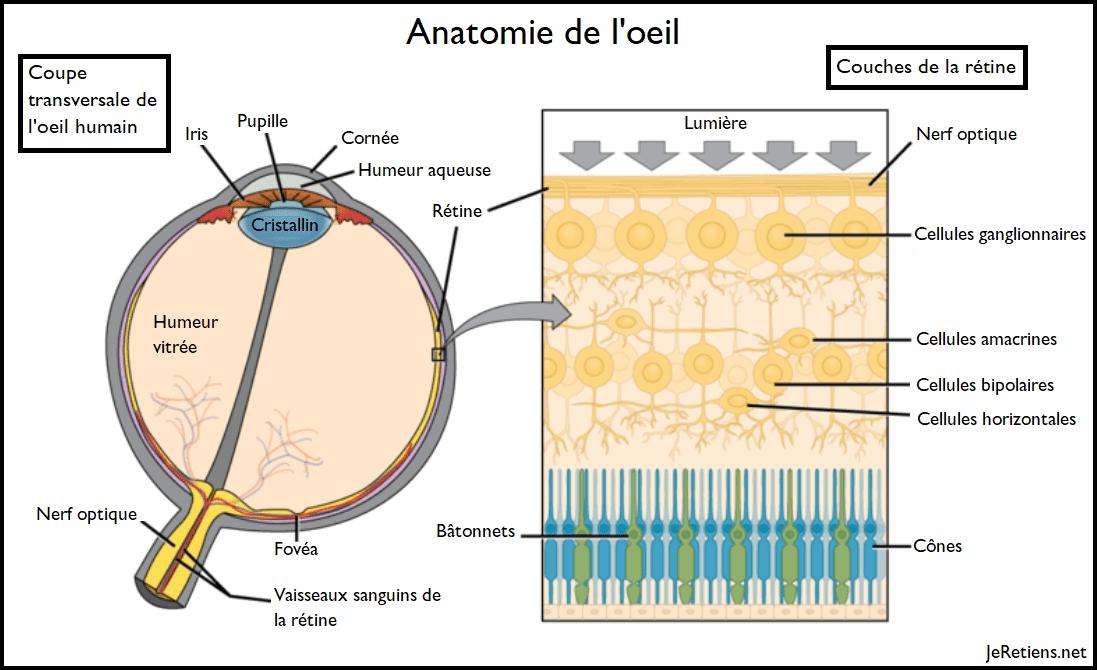 Schéma de l'anatomie d'un oeil