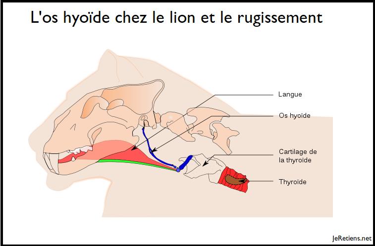 Pourquoi le lion rugit-il ?