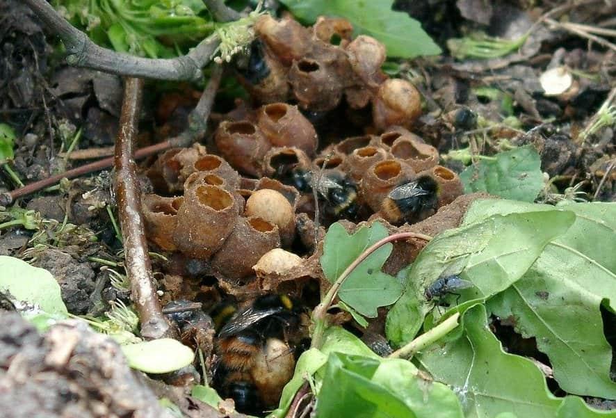 Un nid de bourdons, habitat naturel du bourdon
