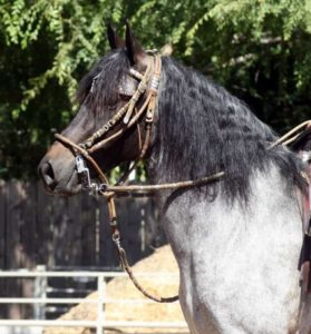 Un cheval maure (lourd comme un cheval mort, johnny que je t'aime est une erreur)