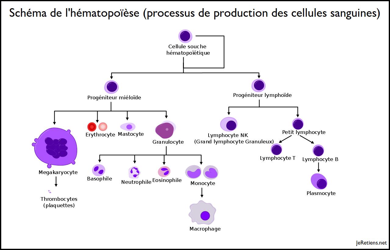 Schéma de l'hématopoièse, production des cellules sanguines et des lymphocytes b et t