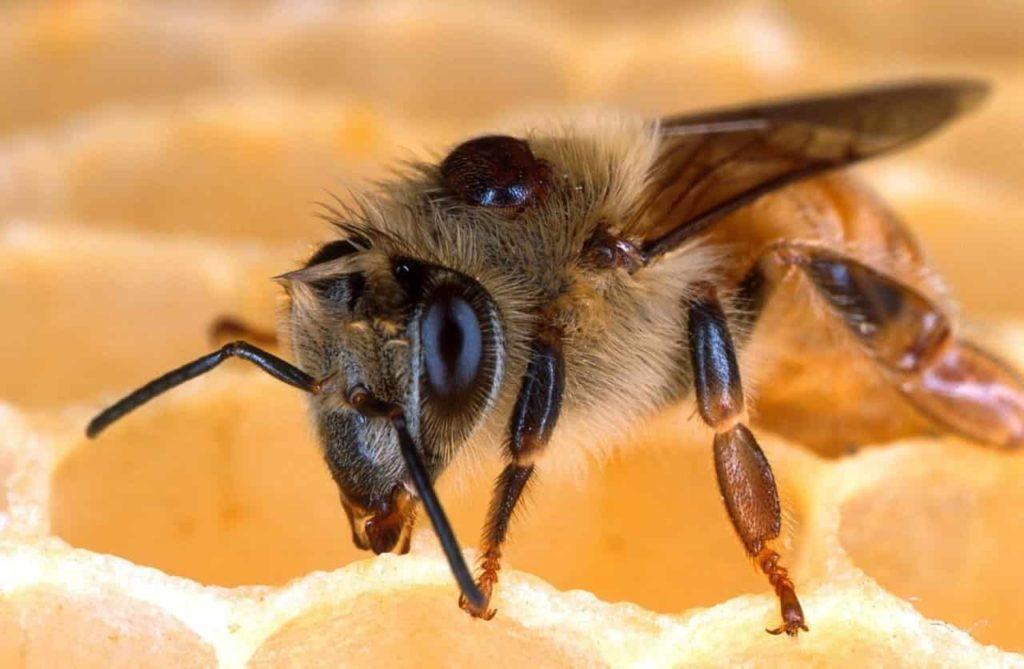 Gros plan d'une abeille